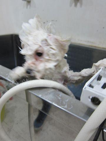 ビションフリーゼフントヒュッテ東京ビションフリーゼこいぬ情報子犬情報ビション赤ちゃんhundehutteビションフリーゼ子犬のブラッシングこいぬのシャンプー4.jpg