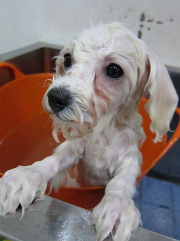 ビションフリーゼフントヒュッテ東京ビションフリーゼこいぬ情報子犬情報ビション赤ちゃんhundehutteビションフリーゼ子犬のブラッシングこいぬのシャンプー9.jpg