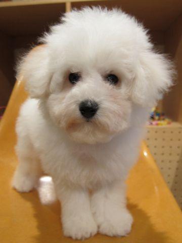 ビションフリーゼフントヒュッテ東京ビションフリーゼこいぬ情報子犬情報ビション赤ちゃんhundehutteビションフリーゼ子犬のブラッシングこいぬのシャンプー14.jpg