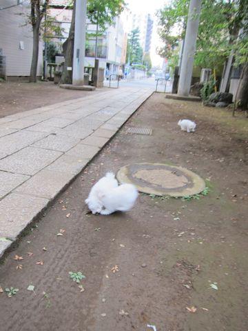 ビションフリーゼフントヒュッテ東京ビションフリーゼこいぬ情報子犬情報ビション赤ちゃんhundehutteビションフリーゼこいぬ子犬はじめてのおさんぽ初めてのお散歩c.jpg