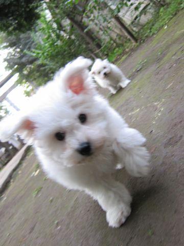 ビションフリーゼフントヒュッテ東京ビションフリーゼこいぬ情報子犬情報ビション赤ちゃんhundehutteビションフリーゼこいぬ子犬はじめてのおさんぽ初めてのお散歩g.jpg