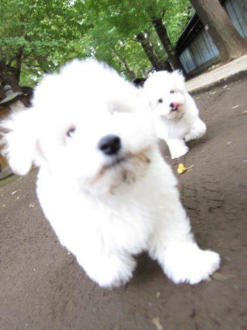 ビションフリーゼフントヒュッテ東京ビションフリーゼこいぬ情報子犬情報ビション赤ちゃんhundehutteビションフリーゼこいぬ子犬はじめてのおさんぽ初めてのお散歩h.jpg