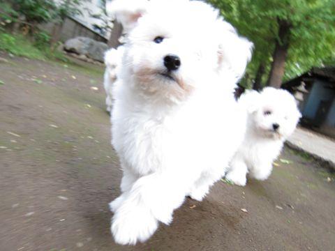 ビションフリーゼフントヒュッテ東京ビションフリーゼこいぬ情報子犬情報ビション赤ちゃんhundehutteビションフリーゼこいぬ子犬はじめてのおさんぽ初めてのお散歩j.jpg