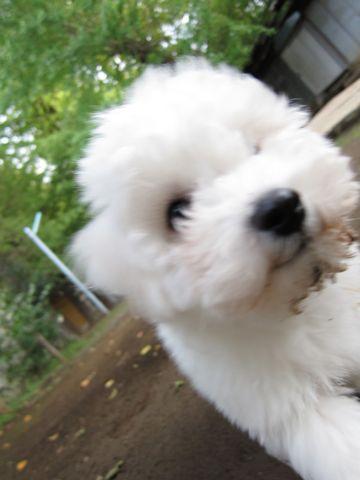 ビションフリーゼフントヒュッテ東京ビションフリーゼこいぬ情報子犬情報ビション赤ちゃんhundehutteビションフリーゼこいぬ子犬はじめてのおさんぽ初めてのお散歩l.jpg