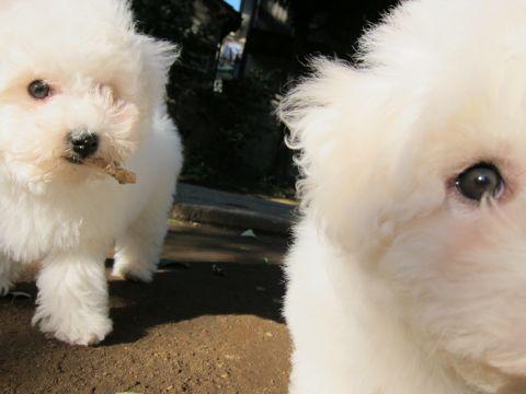 ビションフリーゼフントヒュッテ東京ビションフリーゼこいぬ情報子犬情報ビション赤ちゃんhundehutteビションフリーゼこいぬ子犬はじめてのおさんぽ初めてのお散歩s.jpg