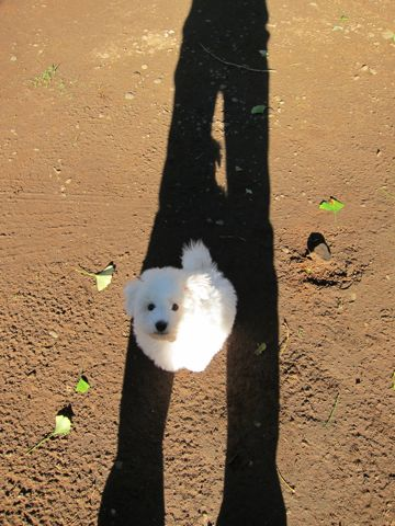 ビションフリーゼフントヒュッテ東京ビションフリーゼこいぬ情報子犬情報ビション赤ちゃんhundehutteビションフリーゼこいぬ子犬はじめてのおさんぽ初めてのお散歩t.jpg