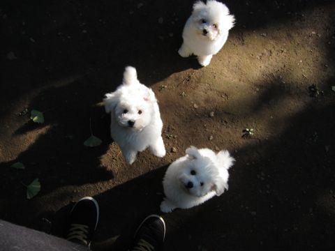 ビションフリーゼフントヒュッテ東京ビションフリーゼこいぬ情報子犬情報ビション赤ちゃんhundehutteビションフリーゼこいぬ子犬はじめてのおさんぽ初めてのお散歩u.jpg