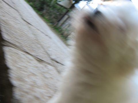 ビションフリーゼフントヒュッテ東京ビション子犬情報ビションフリーゼ赤ちゃんhundehutteビションフリーゼこいぬはじめてのおさんぽ天祖神社文京区本駒込7.jpg