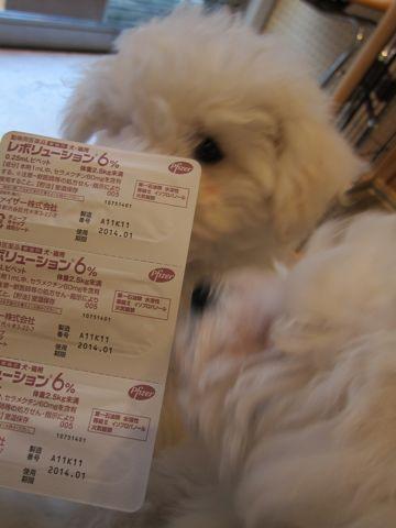 ビションフリーゼフントヒュッテ東京ビションフリーゼ子犬ビション赤ちゃんhundehutteビションこいぬ混合ワクチン接種レボリューション6ノミダニフィラリア予防薬b.jpg