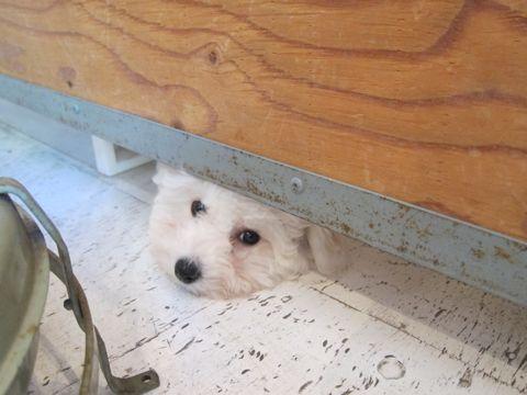 ビションフリーゼフントヒュッテ東京ビションフリーゼこいぬ情報子犬情報ビション赤ちゃんhundehutteビションフリーゼ子犬のブラッシングこいぬのお手入れ5.jpg