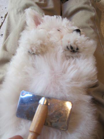 ビションフリーゼフントヒュッテ東京ビションフリーゼこいぬ情報子犬情報ビション赤ちゃんhundehutteビションフリーゼ子犬のブラッシングこいぬのお手入れ8.jpg