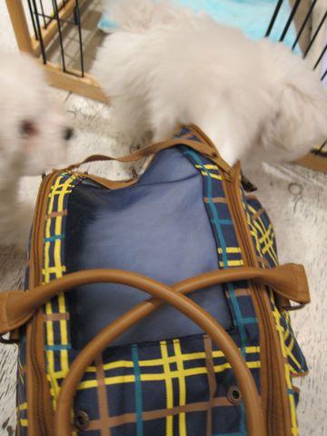 ビションフリーゼフントヒュッテ東京ビションフリーゼ子犬情報ビションフリーゼ赤ちゃんhundehutte文京区ビションフリーゼおんなのこビションフリーゼおとこのこ6.jpg