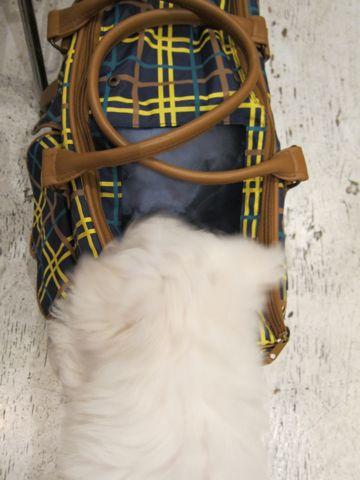 ビションフリーゼフントヒュッテ東京ビションフリーゼ子犬情報ビションフリーゼ赤ちゃんhundehutte文京区ビションフリーゼおんなのこビションフリーゼおとこのこ8.jpg