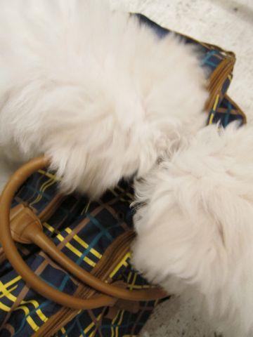 ビションフリーゼフントヒュッテ東京ビションフリーゼ子犬情報ビションフリーゼ赤ちゃんhundehutte文京区ビションフリーゼおんなのこビションフリーゼおとこのこb.jpg