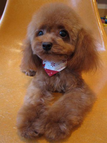トイプードルトリミング文京区フントヒュッテ東京ナノオゾンペットシャワー使用店ハーブパックhundehutteトイ・プードルカットこいぬのカット子犬のトリミング2.jpg