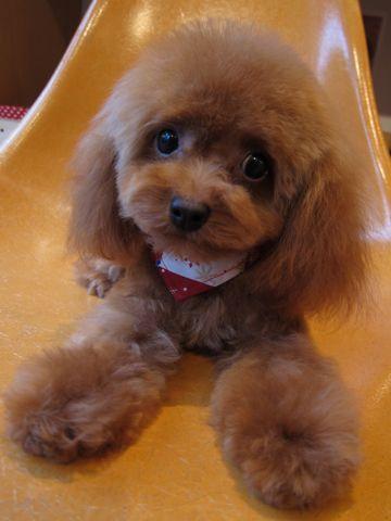 トイプードルトリミング文京区フントヒュッテ東京ナノオゾンペットシャワー使用店ハーブパックhundehutteトイ・プードルカットこいぬのカット子犬のトリミング3.jpg