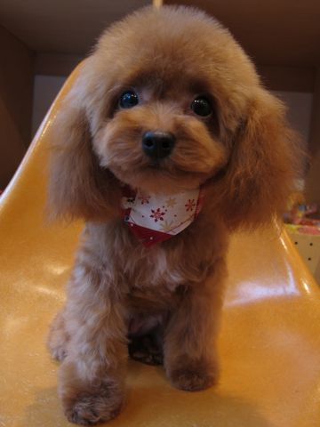 トイプードルトリミング文京区フントヒュッテ東京ナノオゾンペットシャワー使用店ハーブパックhundehutteトイ・プードルカットこいぬのカット子犬のトリミング5.jpg