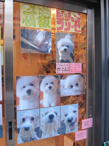 フントヒュッテビションフリーゼこいぬ仔犬子犬ビションフリーゼトリミング文京区フントヒュッテナノオゾンペットシャワー使用店東京hundehutteビションカットこいぬ1.jpg