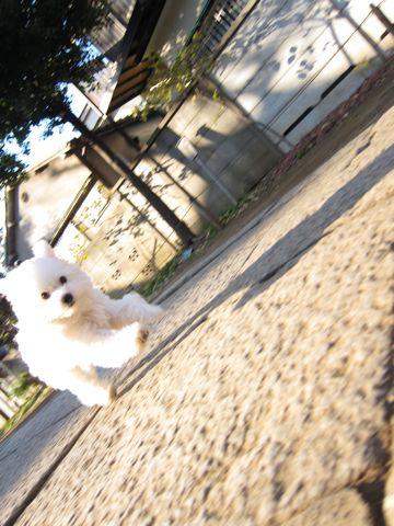 フントヒュッテビションフリーゼこいぬ子犬ビションフリーゼトリミング文京区フントヒュッテナノオゾンペットシャワー使用店東京hundehutteビション仔犬おさんぽd.jpg