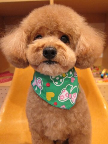 トイ・プードルトリミング文京区フントヒュッテナノオゾンペットシャワー使用店東京hundehutteバースデー割引トリミング犬トイプードルカット犬歯みがき1.jpg
