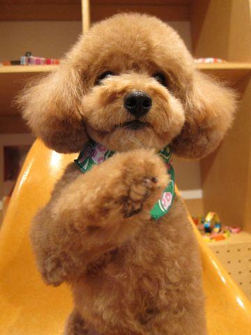 トイ・プードルトリミング文京区フントヒュッテナノオゾンペットシャワー使用店東京hundehutteバースデー割引トリミング犬トイプードルカット犬歯みがき4.jpg