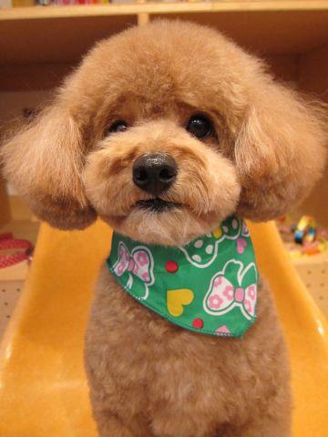 トイ・プードルトリミング文京区フントヒュッテナノオゾンペットシャワー使用店東京hundehutteバースデー割引トリミング犬トイプードルカット犬歯みがき5.jpg