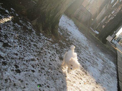 ビションフリーゼ子犬元気なビションおさんぽ天祖神社文京区本駒込フントヒュッテhundehutte雪の上を元気に走るビション2012年初雪東京2012年23日24日東京都心で雪犬お散歩1.jpg