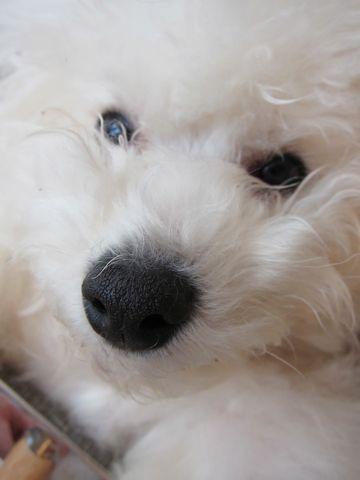 ビションフリーゼフントヒュッテ東京ビションフリーゼこいぬhundehutte子犬のブラッシング子犬のお手入れスリッカーブラシブラッシングコーミング10.jpg