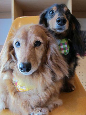 ダックスフンドトリミング文京区フントヒュッテナノオゾンペットシャワー使用店東京犬デンタルケア犬の歯みがきhundehutteシャンプーダックスフンド2.jpg
