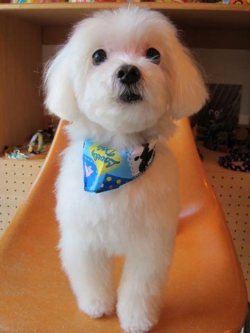 マルチーズトリミング文京区フントヒュッテナノオゾンペットシャワー使用店東京マルチーズカット犬デンタルケア犬の歯みがきhundehutteシャンプー老犬1.jpg