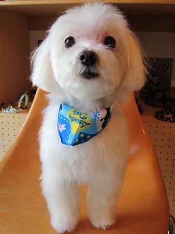 マルチーズトリミング文京区フントヒュッテナノオゾンペットシャワー使用店東京マルチーズカット犬デンタルケア犬の歯みがきhundehutteシャンプー老犬2.jpg
