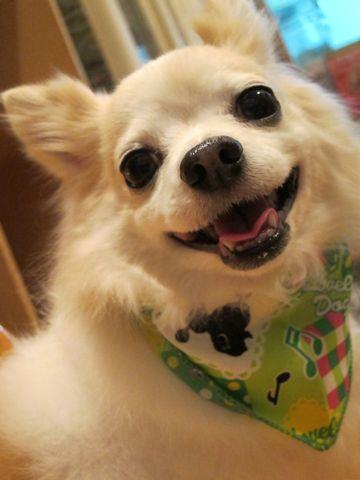 チワワトリミング文京区フントヒュッテナノオゾンペットシャワー使用店東京ハーブパック犬デンタルケア犬の歯みがきhundehutteシャンプーチワワホワイト1.jpg