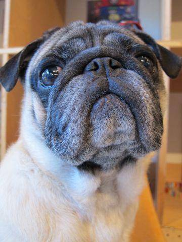 パグトリミング文京区フントヒュッテナノオゾンペットシャワー使用店東京ハーブパック犬デンタルケア犬の歯みがきhundehutteわんこシャンプーパグフォーン4.jpg
