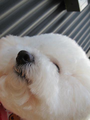 ビションフリーゼトリミング文京区フントヒュッテナノオゾンペットシャワー使用店東京hundehutteハーブパック犬の歯医者さん犬歯磨き東京ビションカット白い犬8.jpg