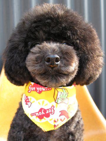 トイプードルアフロカットイプートリミング文京区フントヒュッテナノオゾンペットシャワー使用店東京hundehutteなるほどHSなるほどハイスクールAKB48アフロ犬画像b.jpg