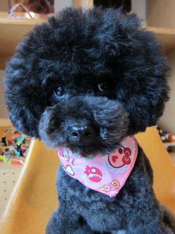 トイプードルアフロカットイプートリミング文京区フントヒュッテナノオゾンペットシャワー使用店東京hundehutteなるほどHSなるほどハイスクールAKB48アフロ犬画像3.jpg