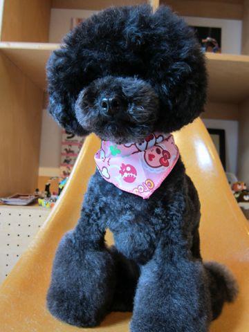 トイプードルアフロカットイプートリミング文京区フントヒュッテナノオゾンペットシャワー使用店東京hundehutteなるほどHSなるほどハイスクールAKB48アフロ犬画像5.jpg