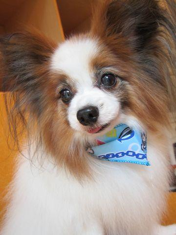パピヨントリミング文京区フントヒュッテナノオゾンペットシャワー使用店東京犬デンタルケア犬の歯みがき犬ハーブパックhundehutteパピヨンシャンプー1.jpg