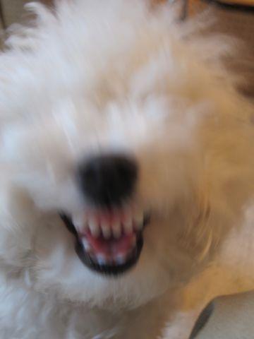 ビションフリーゼトリミング文京区フントヒュッテナノオゾンペットシャワー使用店東京hundehutteハーブパック犬トリミング東京ビションカットビションフォルム19.jpg