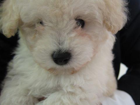トイプードルこいぬティーカッププードル子犬フントヒュッテ東京hundehutte文京区小さいトイプー毛量のあるプードル性格のいいプードルかわいいトイプー2.jpg