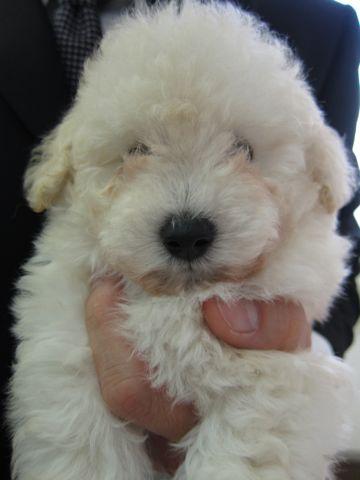 トイプードルこいぬティーカッププードル子犬フントヒュッテ東京hundehutte文京区小さいトイプー毛量のあるプードル性格のいいプードルかわいいトイプー3.jpg