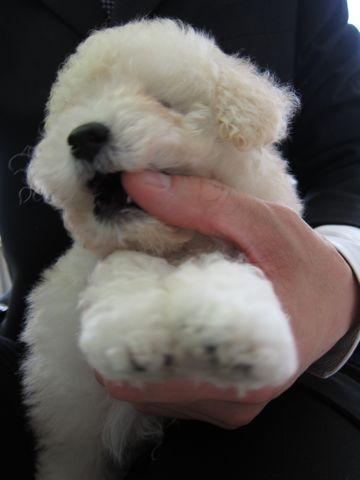 トイプードルこいぬティーカッププードル子犬フントヒュッテ東京hundehutte文京区小さいトイプー毛量のあるプードル性格のいいプードルかわいいトイプー6.jpg