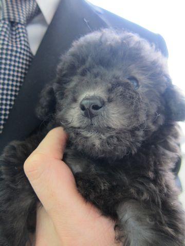 トイプードルこいぬティーカッププードル子犬フントヒュッテ東京hundehutte文京区小さいトイプー毛量のあるプードル性格のいいプードルかわいいトイプー7.jpg