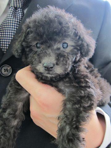 トイプードルこいぬティーカッププードル子犬フントヒュッテ東京hundehutte文京区小さいトイプー毛量のあるプードル性格のいいプードルかわいいトイプー8.jpg