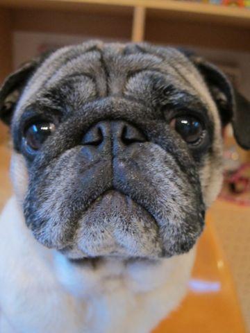 パグトリミング文京区フントヒュッテナノオゾンペットシャワー使用店東京ハーブパック犬デンタルケア犬の歯みがきhundehutteわんこシャンプーパグフォーン2.jpg