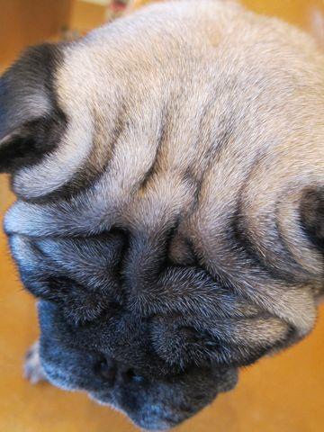 パグトリミング文京区フントヒュッテナノオゾンペットシャワー使用店東京ハーブパック犬デンタルケア犬の歯みがきhundehutteわんこシャンプーパグフォーン3.jpg