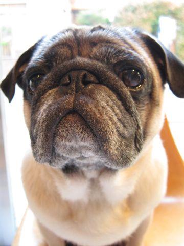 パグトリミング文京区フントヒュッテナノオゾンペットシャワー使用店東京ハーブパック犬デンタルケア犬の歯みがきhundehutteわんこシャンプーパグフォーンh.jpg
