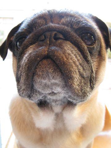 パグトリミング文京区フントヒュッテナノオゾンペットシャワー使用店東京ハーブパック犬デンタルケア犬の歯みがきhundehutteわんこシャンプーパグフォーンi.jpg