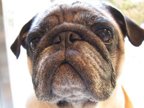パグトリミング文京区フントヒュッテナノオゾンペットシャワー使用店東京ハーブパック犬デンタルケア犬の歯みがきhundehutteわんこシャンプーパグフォーンj.jpg