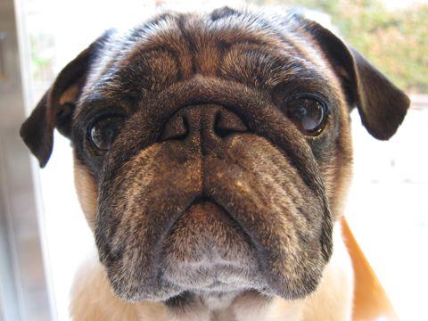 パグトリミング文京区フントヒュッテナノオゾンペットシャワー使用店東京ハーブパック犬デンタルケア犬の歯みがきhundehutteわんこシャンプーパグフォーンk.jpg